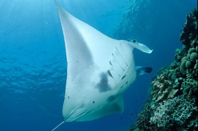 【印尼達拉灣】Derawan 這輩子必去!全世界最棒的潛水點,鯨鯊群!海龜產卵!水母湖!蝠魟風暴!|7日 4